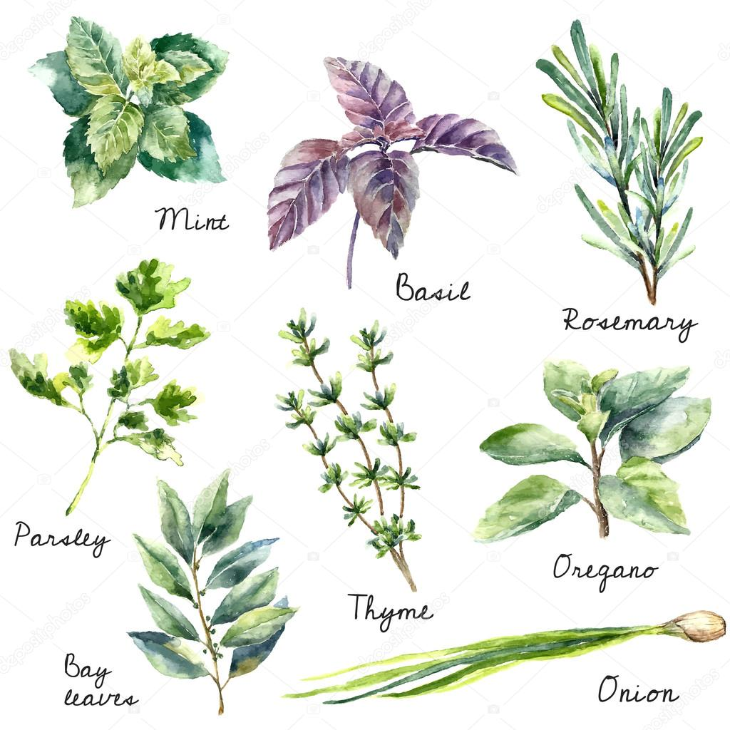 Watercolor collection of fresh herbs isolated.