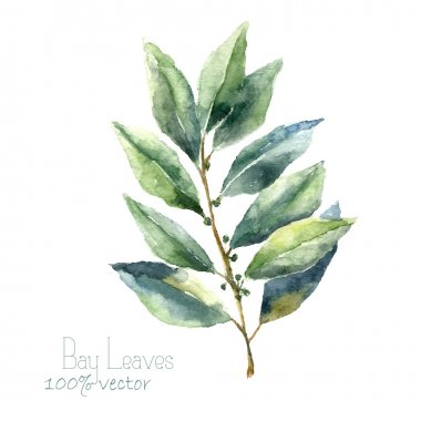 Watercolor bay leaf.