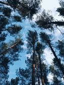 The crowns of trees on a background of blue sky