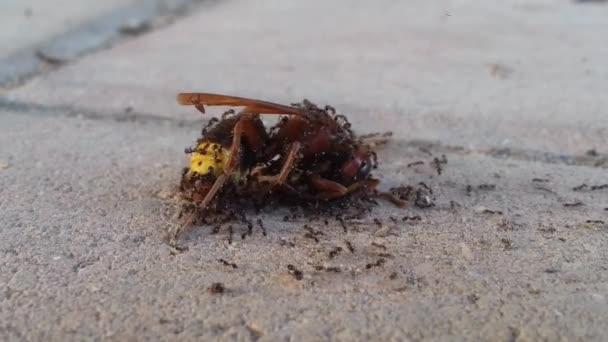 Malé mravenci jíst mrtvá vosa na chodníku