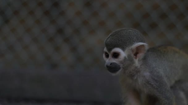A Squirrel Monkey Inside a Cage in a Zoo