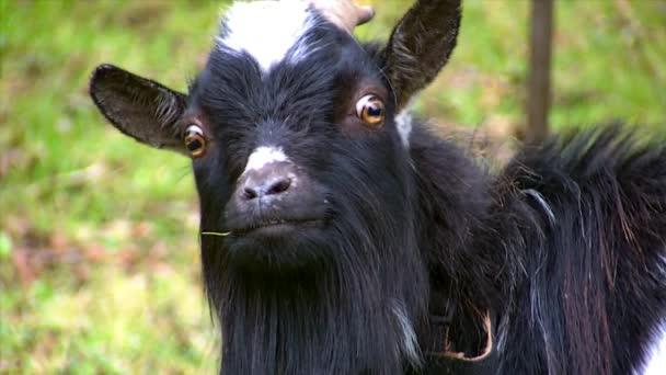 Funny černá koza při pohledu na fotoaparát