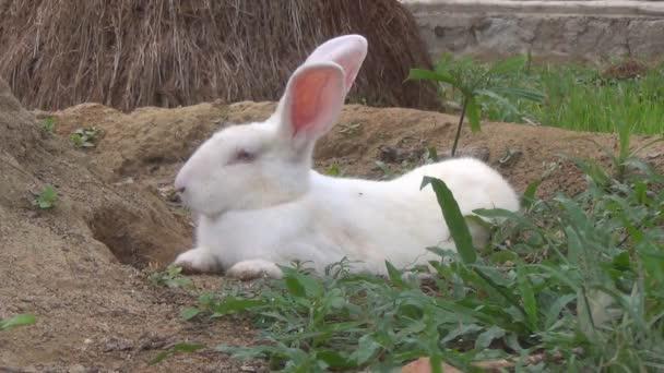 Bílý králík, ležící na zemi. Těžce dýchá. Zajíc spočívá v jámě.