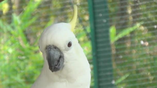 Papoušek kakadu rozhlédne a klepne na tlačítko jazyk