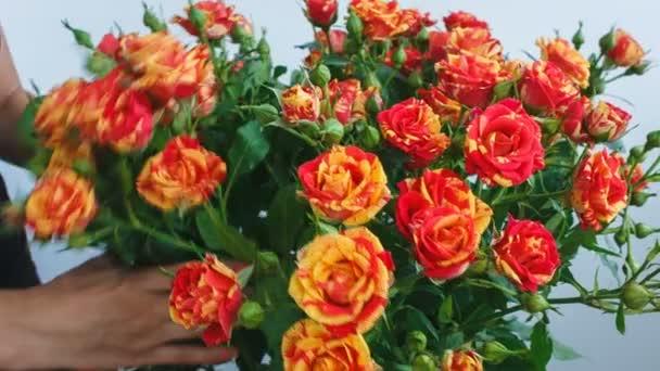 Strauß gelber und roter Rosen kleine Rosen. Mädchen pflückt Blumen in einem Strauß.
