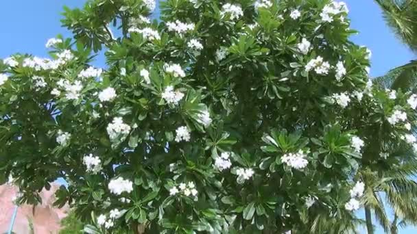 Beautiful Big Tree With White Flowers Swaying In The Wind Stock