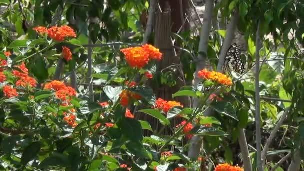 Szép nagy pillangó narancs virág ül, és majd repülni egy virág, egy másik