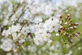 Na jaře přirozeného pozadí s bílými Třešňové květy.