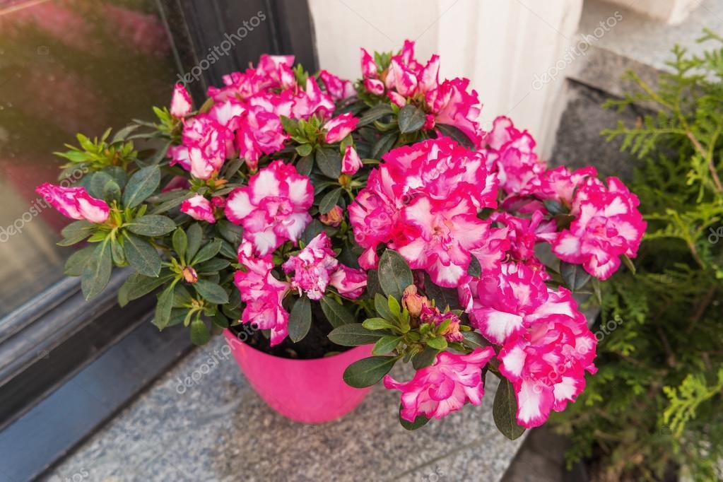 Potted flowers of pink azalea street decoration with plants and potted flowers of pink azalea street decoration with plants and flower compositions moscow mightylinksfo