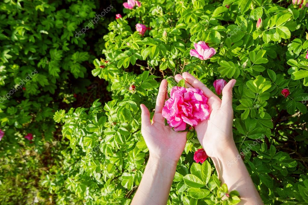 Woman Holds A Wild Rose Flower Bright Pink On Green Bush Natural Spring Or Summer Background Place For Text Photo By Aksenovko