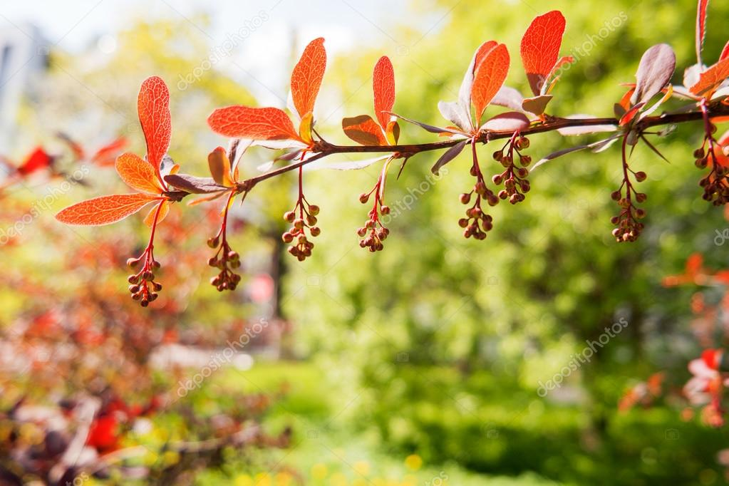 Blooming berberis ottawensis deciduous and evergreen shrub stock blooming berberis ottawensis deciduous and evergreen shrub bright yellow flowers natural spring background photo by aksenovko mightylinksfo