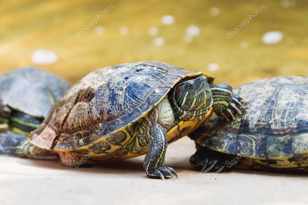 Il laghetto slider trachemys scripta tartaruga for Lago tartarughe