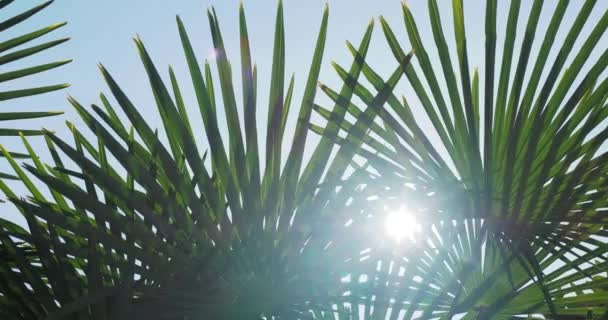 Sun shines through palm trees leaves. Tropical trees foliage at sunlight. Sochi, Russia.