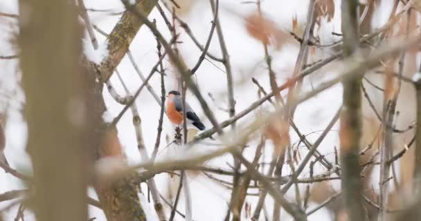 Der Gimpel oder Pyrrhula pyrrhula sitzt auf einem gefrorenen Ast. Bunter Vogel frisst Ahornsamen im Winterwald.