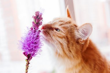 Ginger cat smells a bright lilac flower.