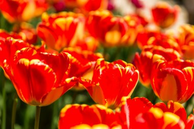 Natural background with different kinds of tulips. Spring background with colorful blossoming flowers in sunny day. Moscow, Russia.