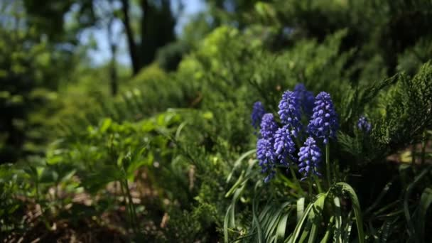 Muscari flowers. Deep blue flowers on green natural background. Sunny summer morning in garden.