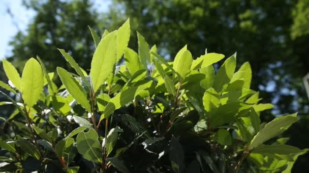 Laurel Laurus nobilis tree. Natural summer background with foliage at sunlight.
