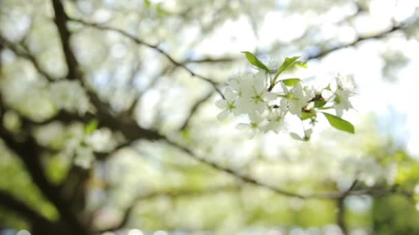 White cherry branches with flowers waves at sunlight. Natural spring background.