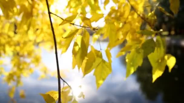 Yellow leaves on the branches against the backdrop of water surface