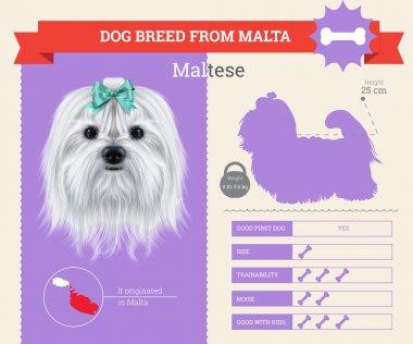 Maltese dog breed vector infographics