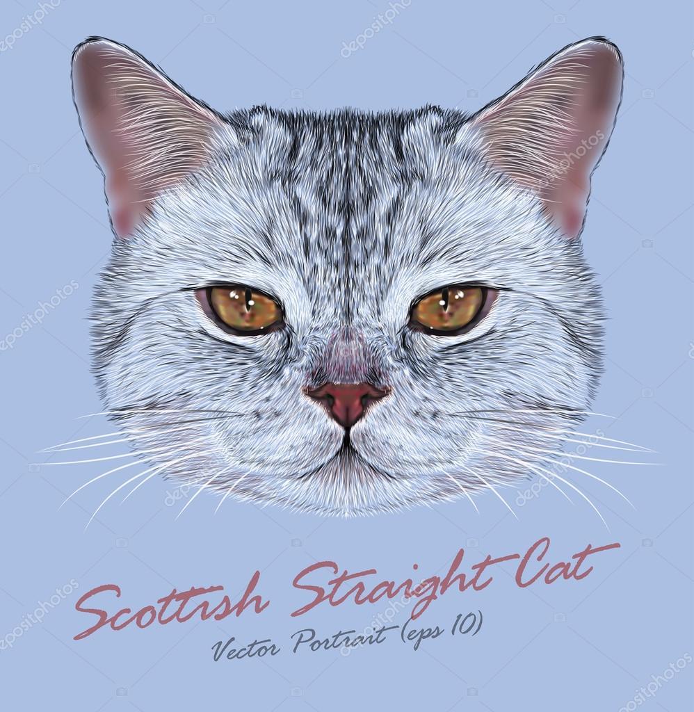 Vector Portrait of Scottish Straight Cat