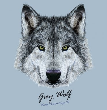 Wolf animal face. Scary grey head. Realistic fur gray wild wolf portrait on blue background.