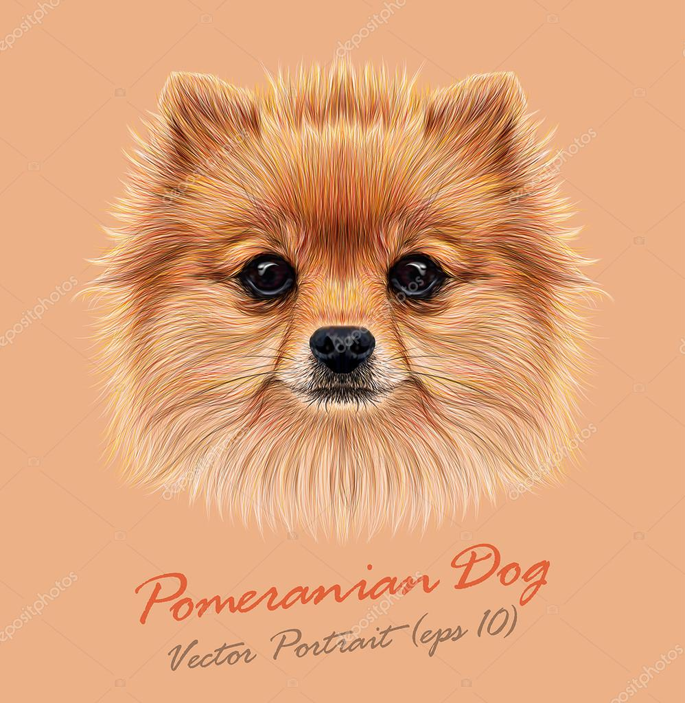 Pomeranian spitz dog animal cute face. Vector funny puppy head portrait. Realistic fur portrait of Pomeranian dog isolated on beige background.