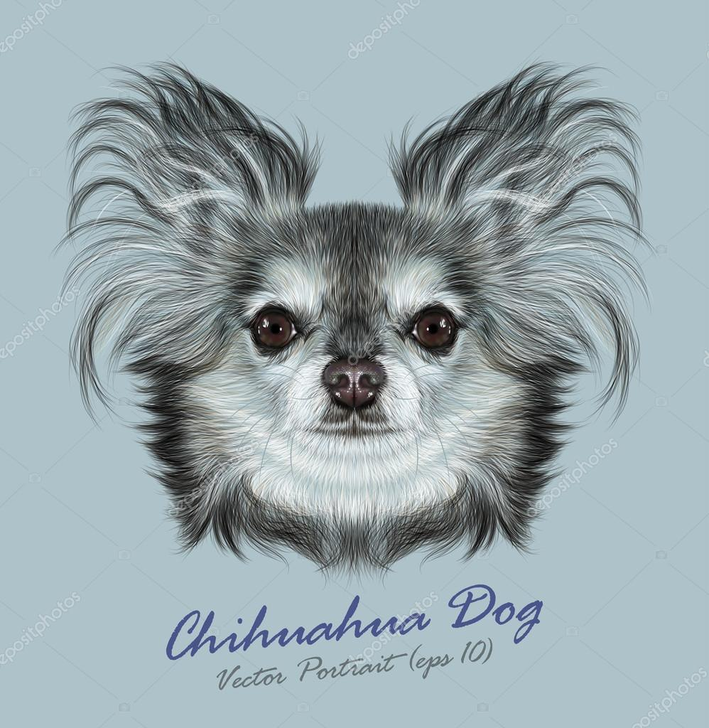 Chihuahua animal dog cute face. Vector breeded chihuahua puppy head portrait. Realistic fur portrait of purebred chihuahua doggy on grey background.