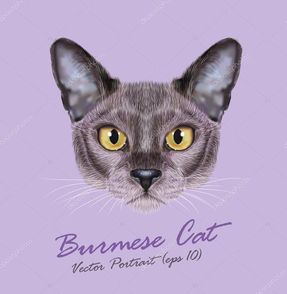 Burmese cat animal cute face. Vector young silver blue purebred kitten head portrait. Realistic fur portrait of Asian, American Burma kitty isolated on violet background.