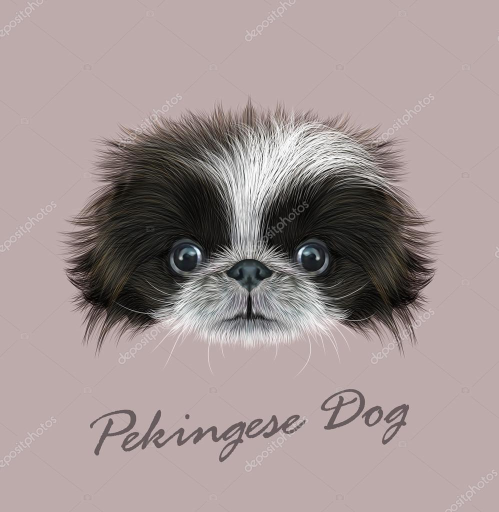 Pekingese dog animal cute face. Vector funny Chinese black and white Pekingese puppy head portrait. Realistic fur portrait of purebred young peke doggy isolated on grey background.