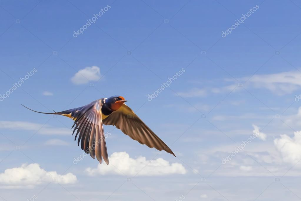 Swallow In Flight On Blue Cloudy Skies