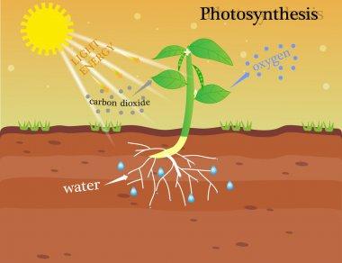 the photosynthesis vector design