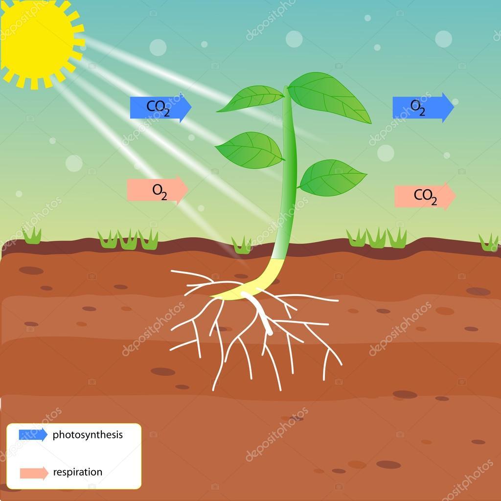 photosynthesis and respiration vector design