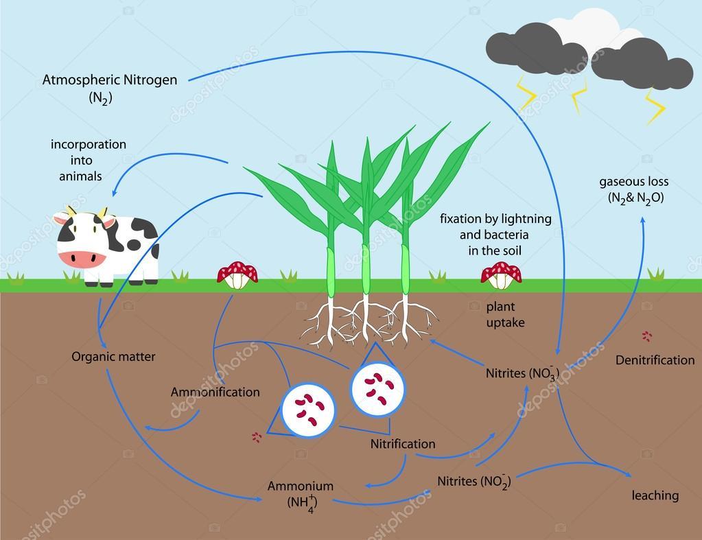 The nitrogen cycle vector design stock vector kawin302 105990548 the nitrogen cycle vector design stock vector pooptronica Choice Image