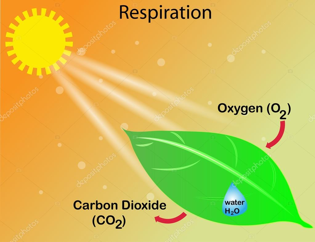 Respiration of a plant