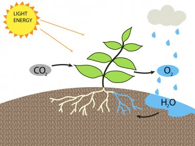 photosynthesis vetor design