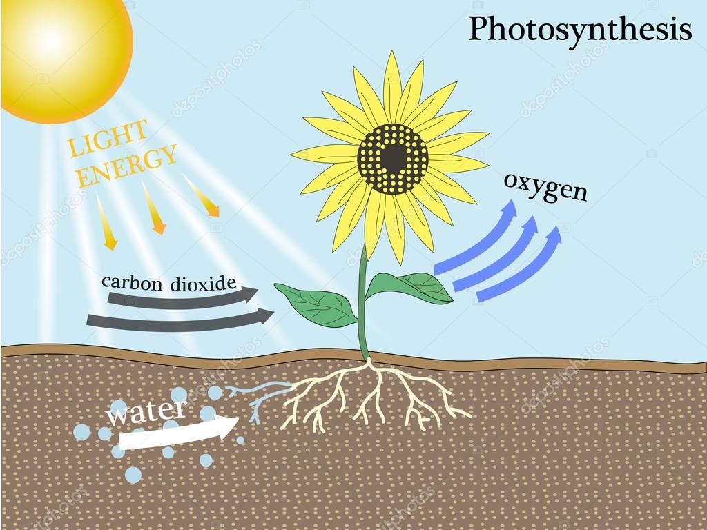 photosynthesis vetor design