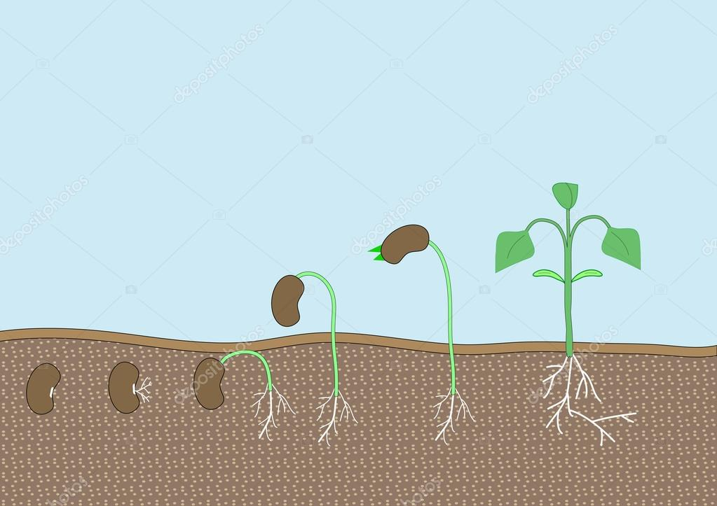 Seed plant vector