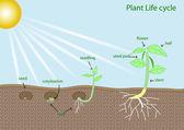 ciclo di vita vegetale