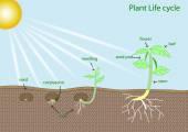 Pflanze-Lebenszyklus