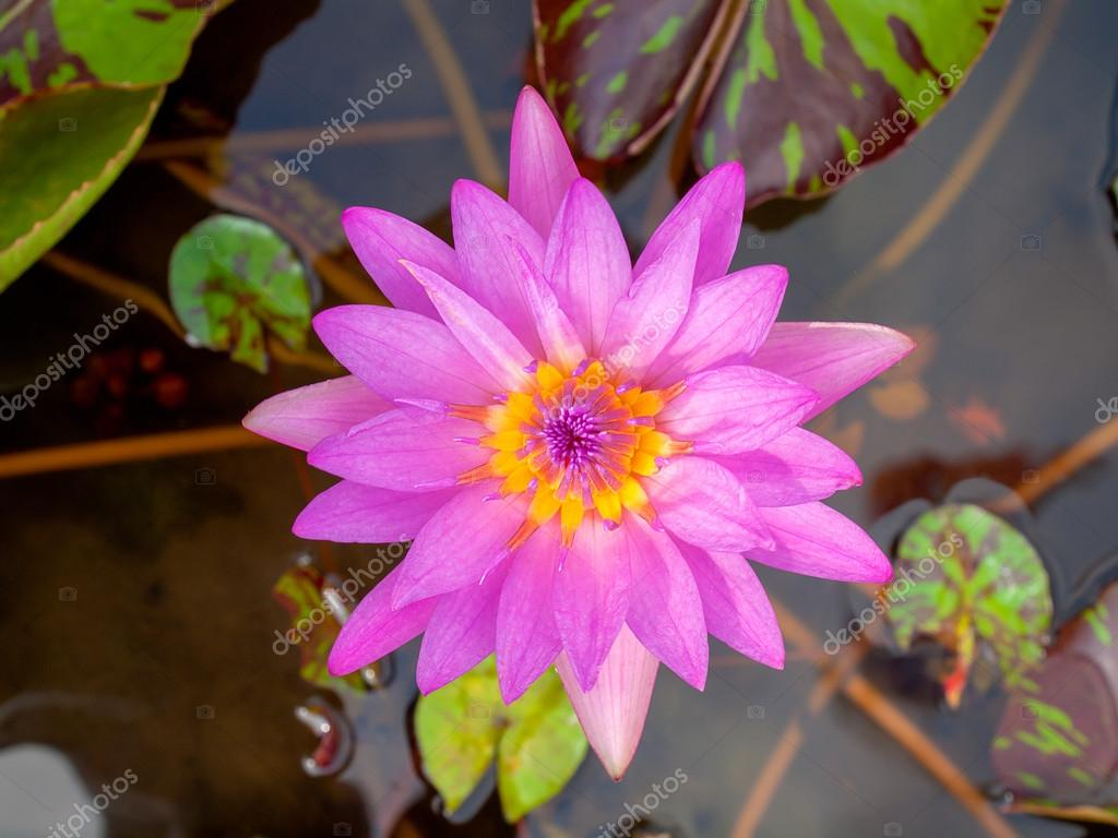 Lotus Flower Natural Beauty Stock Photo Kun2512 96643286