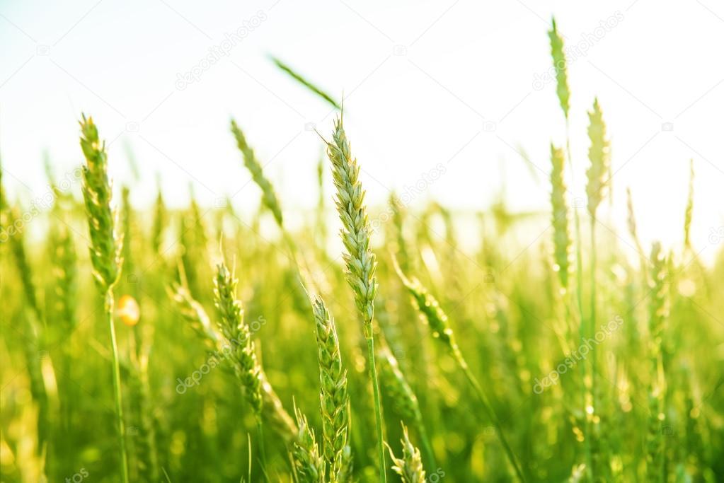 green wheat ears over field
