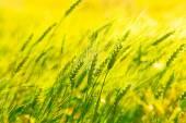 pšenice uši nad polem