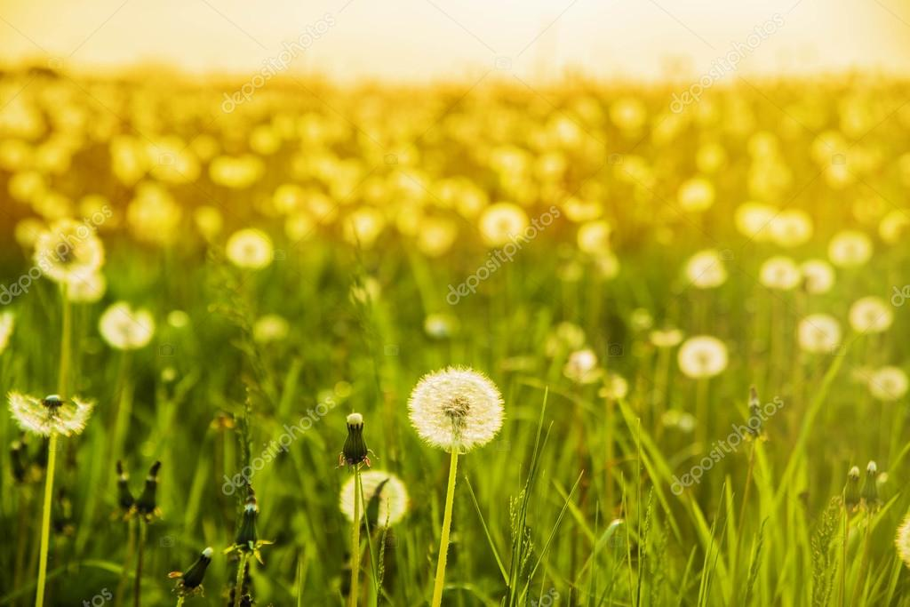 dandelions on the meadow at sunlight.