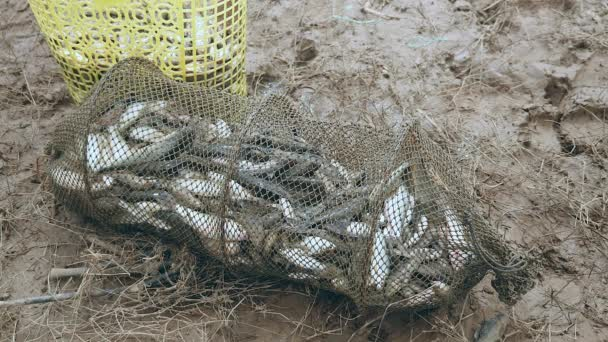 Fish cage net full of fresh-caught fishes