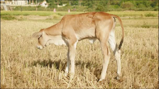 Young cow walks in a  field