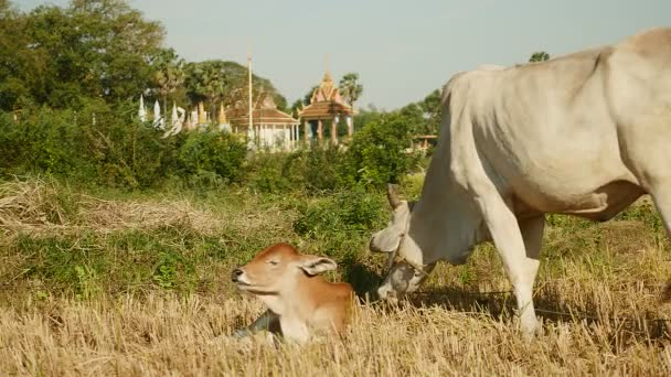 Mother cow grazing with his baby cow