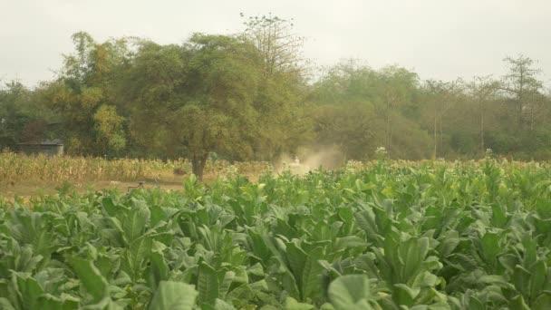 zadní pohled na zemědělce jízdy oxcart nesoucí sklizené tabák listy na zaprášené zemi cestu přes tabákových polí