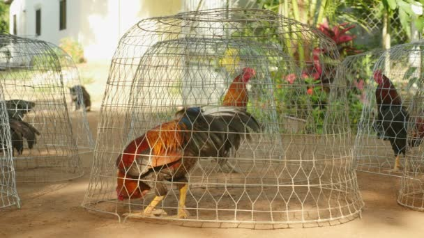 Close-up on roosters crowing in small wire cages,